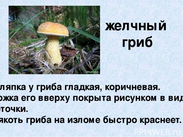 желчный гриб Шляпка у гриба гладкая, коричневая. Ножка его вверху покрыта рисунком в виде сеточки. Мякоть гриба на изломе быстро краснеет.