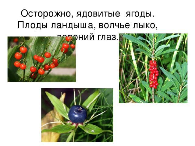 Осторожно, ядовитые ягоды. Плоды ландыша, волчье лыко, вороний глаз.