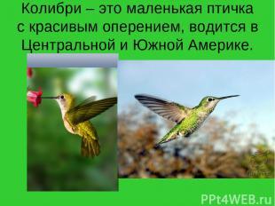 Колибри – это маленькая птичка с красивым оперением, водится в Центральной и Южн