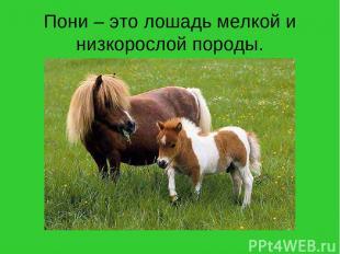 Пони – это лошадь мелкой и низкорослой породы.