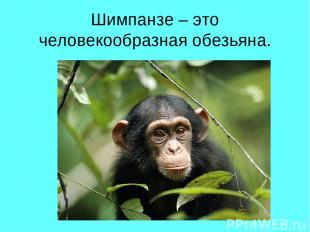 Шимпанзе – это человекообразная обезьяна.