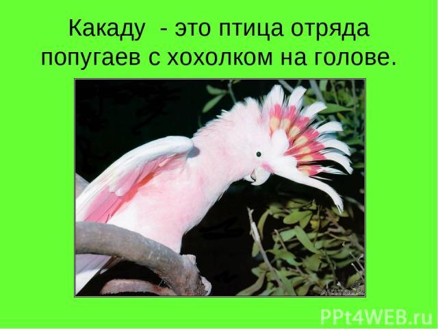 Какаду - это птица отряда попугаев с хохолком на голове.