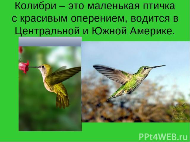 Колибри – это маленькая птичка с красивым оперением, водится в Центральной и Южной Америке.
