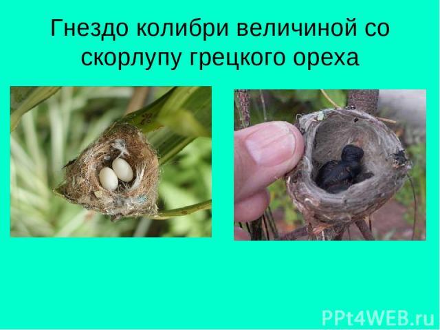 Гнездо колибри величиной со скорлупу грецкого ореха