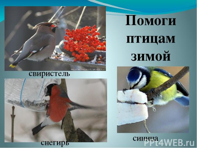 Помоги птицам зимой свиристель снегирь синица