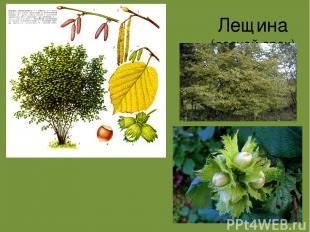 Лещина (лесной орех)