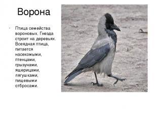 Ворона Птица семейства вороновых. Гнезда строит на деревьях. Всеядная птица, пит