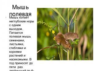 Мышь полевая Мышь копает неглубокие норы с одним выходом. Питается полевая мышь