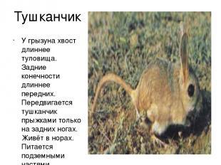 Тушканчик У грызуна хвост длиннее туловища. Задние конечности длиннее передних.