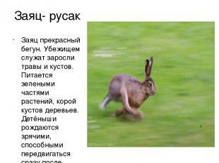 Заяц- русак Заяц прекрасный бегун. Убежищем служат заросли травы и кустов. Питае