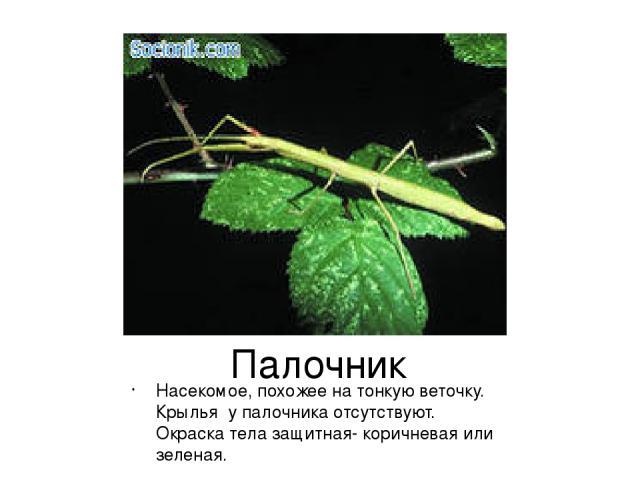 Палочник Насекомое, похожее на тонкую веточку. Крылья у палочника отсутствуют. Окраска тела защитная- коричневая или зеленая.