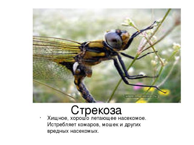 Стрекоза Хищное, хорошо летающее насекомое. Истребляет комаров, мошек и других вредных насекомых.