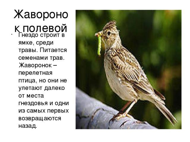 Жаворонок полевой Гнездо строит в ямке, среди травы. Питается семенами трав. Жаворонок –перелетная птица, но они не улетают далеко от места гнездовья и одни из самых первых возвращаются назад.