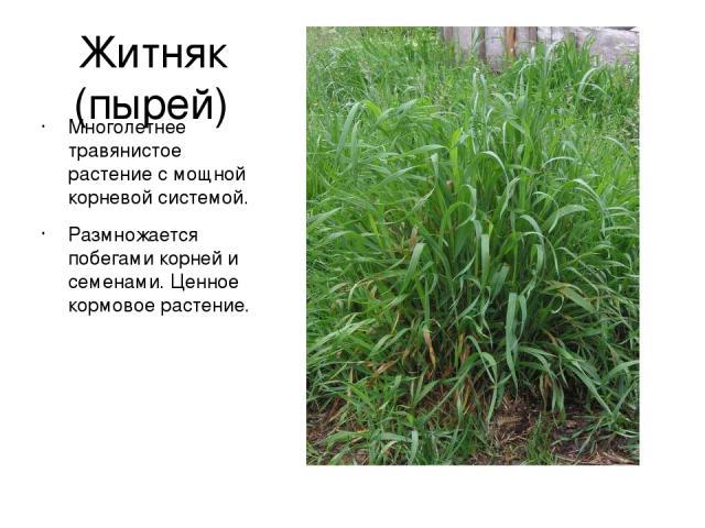 Житняк (пырей) Многолетнее травянистое растение с мощной корневой системой. Размножается побегами корней и семенами. Ценное кормовое растение.