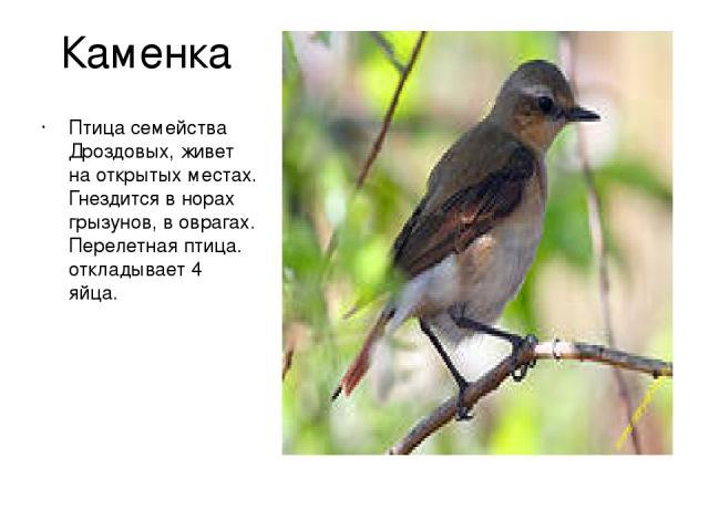 Каменка Птица семейства Дроздовых, живет на открытых местах. Гнездится в норах грызунов, в оврагах. Перелетная птица. откладывает 4 яйца.