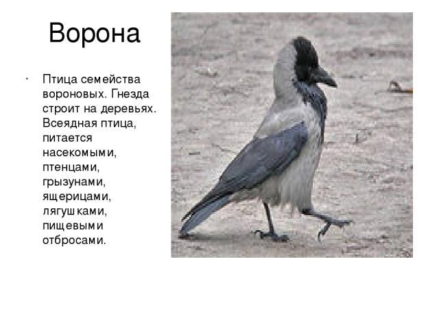 Ворона Птица семейства вороновых. Гнезда строит на деревьях. Всеядная птица, питается насекомыми, птенцами, грызунами, ящерицами, лягушками, пищевыми отбросами.