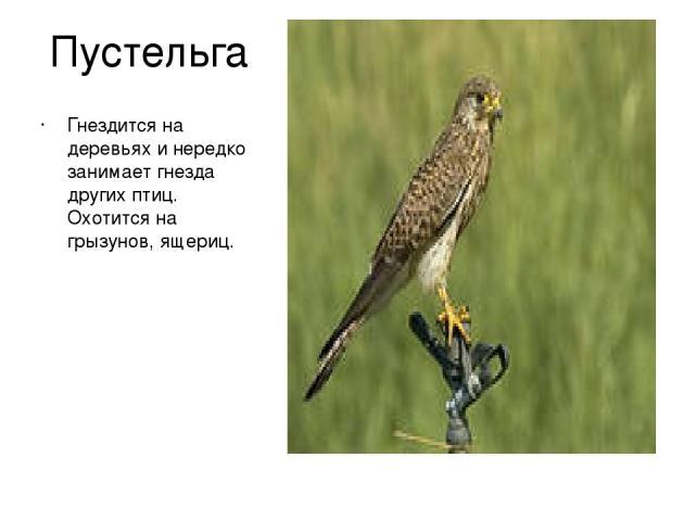 Пустельга Гнездится на деревьях и нередко занимает гнезда других птиц. Охотится на грызунов, ящериц.