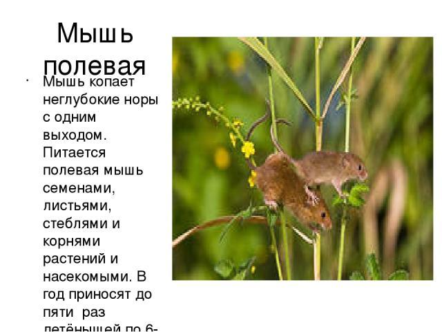 Мышь полевая Мышь копает неглубокие норы с одним выходом. Питается полевая мышь семенами, листьями, стеблями и корнями растений и насекомыми. В год приносят до пяти раз детёнышей по 6-7 детёнышей.