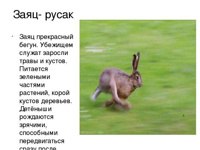 Заяц- русак Заяц прекрасный бегун. Убежищем служат заросли травы и кустов. Питается зелеными частями растений, корой кустов деревьев. Детёныши рождаются зрячими, способными передвигаться сразу после рождения.