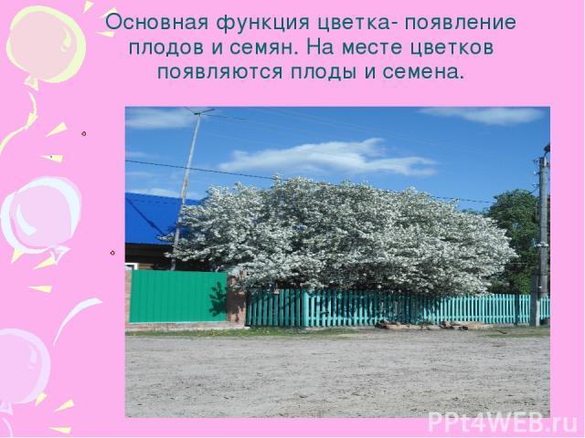 Основная функция цветка- появление плодов и семян. На месте цветков появляются плоды и семена. .