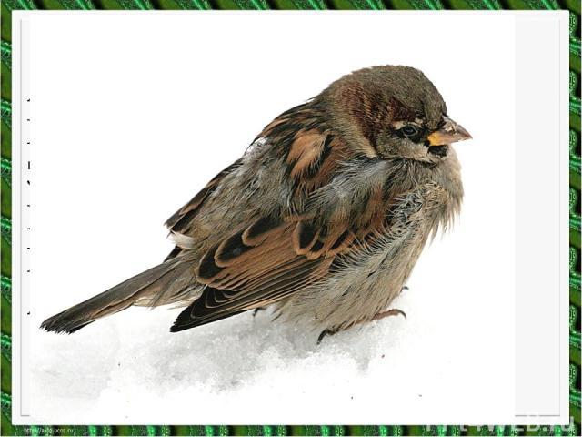 Я весь день ловлю жуков, Ем букашек, червяков, Зимовать не улетаю, Под карнизом обитаю. Прыг-скок! Не робей! Я бывалый …