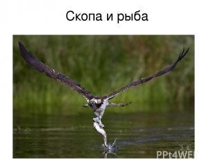 Скопа и рыба