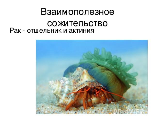 Взаимополезное сожительство Рак - отшельник и актиния