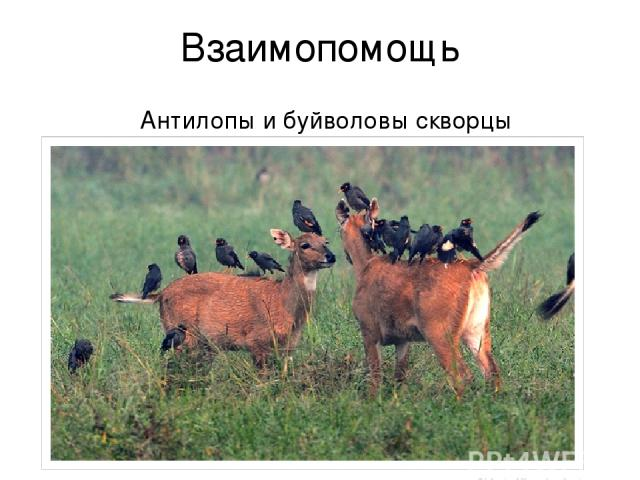 Взаимопомощь Антилопы и буйволовы скворцы