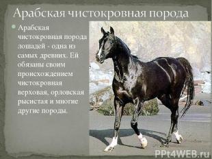 Арабская чистокровная порода лошадей - одна из самых древних. Ей обязаны своим п