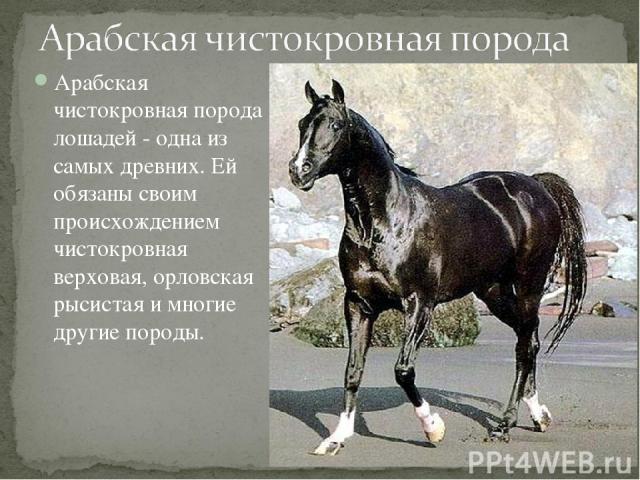 Арабская чистокровная порода лошадей - одна из самых древних. Ей обязаны своим происхождением чистокровная верховая, орловская рысистая и многие другие породы.