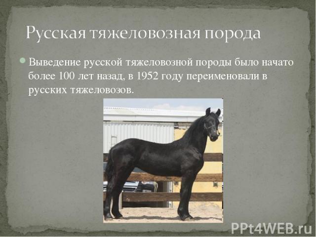 Выведение русской тяжеловозной породы было начато более 100 лет назад, в 1952 году переименовали в русских тяжеловозов.