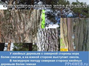 У хвойных деревьев с северной стороны кора более сжатая, а на южной стороне выст