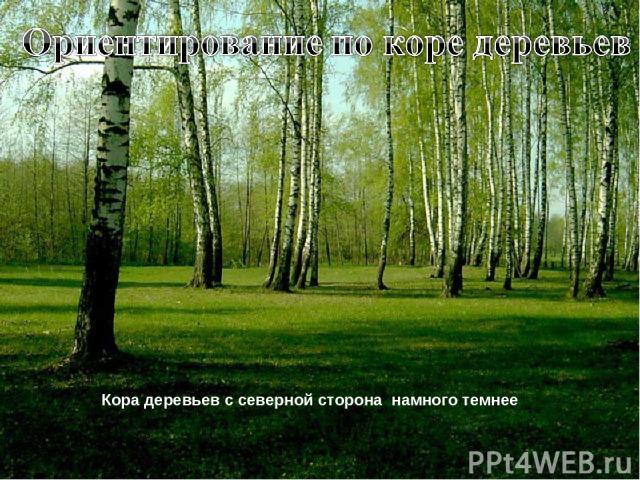 Кора деревьев с северной сторона намного темнее