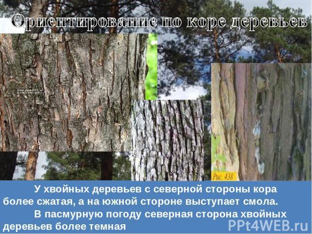У хвойных деревьев с северной стороны кора более сжатая, а на южной стороне выступает смола. В пасмурную погоду северная сторона хвойных деревьев более темная