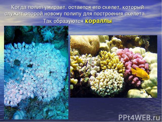 Когда полип умирает, остается его скелет, который служит опорой новому полипу для построения скелета. Так образуются кораллы.