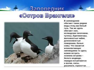 В заповеднике обитают такие редкие виды птиц как белый гусь. Так же здесь обитаю