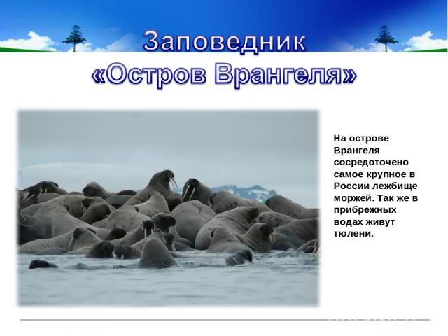 На острове Врангеля сосредоточено самое крупное в России лежбище моржей. Так же в прибрежных водах живут тюлени.