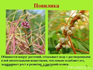 Повилика Обвивается вокруг растений, отсасывает воду с растворенными в ней питат