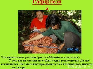 Раффлезия Это удивительное растение (растет в Малайзии, вджунглях). У него нет