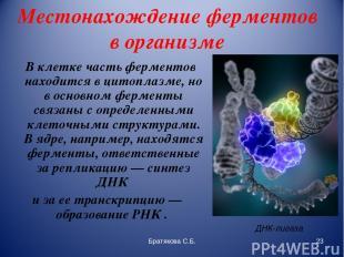 Местонахождение ферментов в организме В клетке часть ферментов находится в цитоп