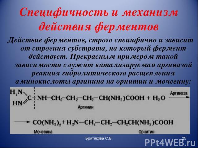 Специфичность и механизм действия ферментов Действие ферментов, строго специфично и зависит от строения субстрата, на который фермент действует. Прекрасным примером такой зависимости служит катализируемая аргиназой реакция гидролитического расщеплен…