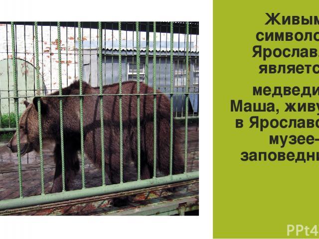 Живым символом Ярославля является медведица Маша, живущая вЯрославском музее-заповеднике.