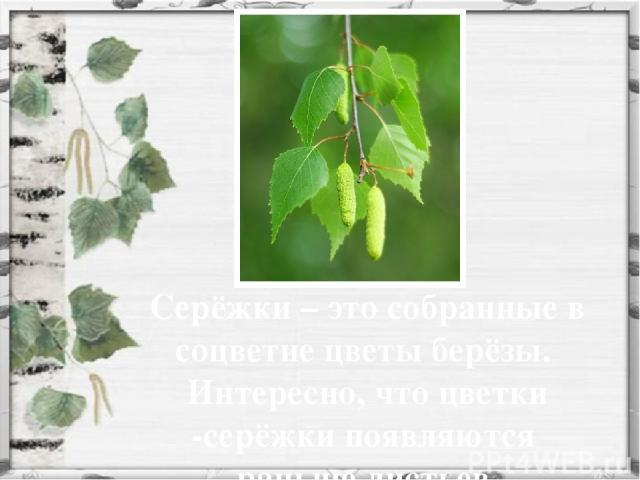 Серёжки – это собранные в соцветие цветы берёзы. Интересно, что цветки -серёжки появляются раньше листьев.