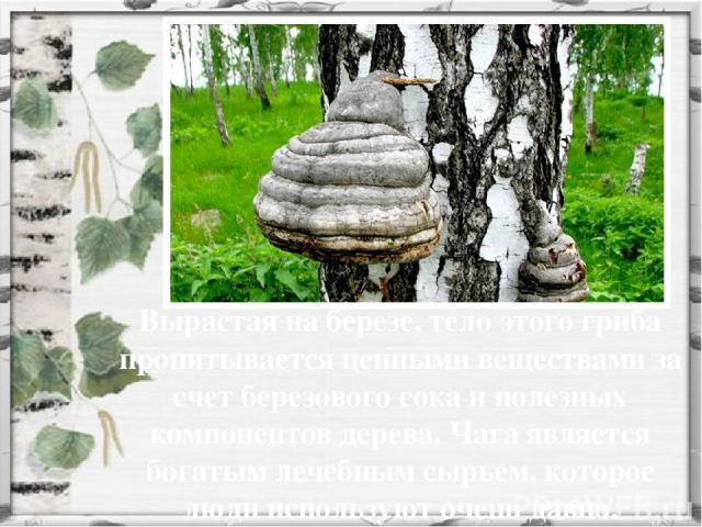 Вырастая на березе, тело этого гриба пропитывается ценными веществами за счет березового сока и полезных компонентов дерева. Чага является богатым лечебным сырьем, которое люди используют очень давно.