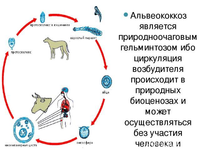 Альвеококкоз является природноочаговым гельминтозом ибо циркуляция возбудителя происходит в природных биоценозах и может осуществляться без участия человека и синантропных животных. Механизм передачи альвеококкоза тот же, что и эхинококкоза. Основны…