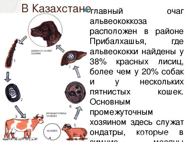 В Казахстане главный очаг альвеококкоза расположен в районе Прибалхашья, где альвеококки найдены у 38% красных лисиц, более чем у 20% собак и у нескольких пятнистых кошек. Основным промежуточным хозяином здесь служат ондатры, которые в зимние месяцы…