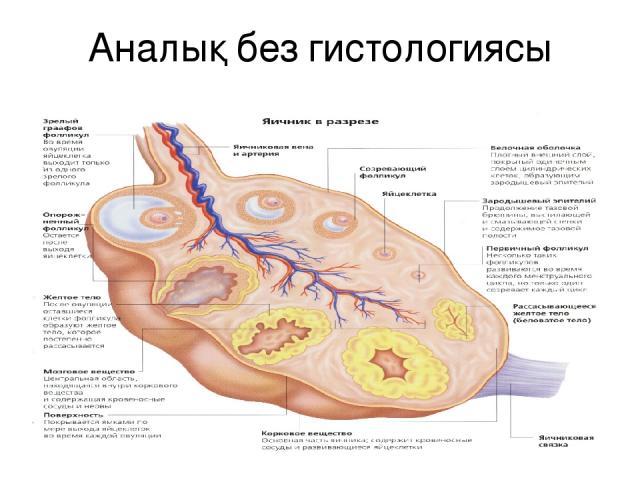 Аналық без гистологиясы