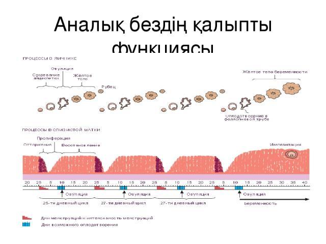 Аналық бездің қалыпты функциясы