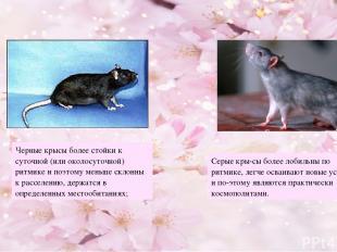 Черные крысы более стойки к суточной (или околосуточной) ритмике и поэтому меньш