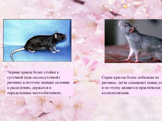 Черные крысы более стойки к суточной (или околосуточной) ритмике и поэтому меньше склонны к расселению, держатся в определенных местообитаниях; Серые кры сы более лобильны по ритмике, легче осваивают новые условия и по этому являются практически кос…